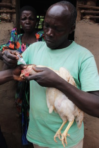 Making markets to fight Newcastle Disease in Uganda
