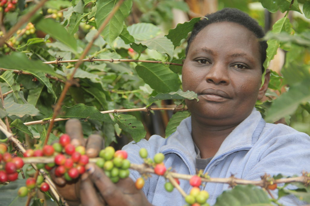 Coffee Farmers in Nyeri County Smell New Technology to Boost