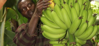 Farmer Reaps Returns From Tissue Culture Bananas